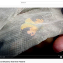 This is a screen shot from the Placer Land Trust (PLT) video on the California state insect. Bohart Museum associate and PLT guide Greg Kareofelas had just netted the butterfly in a display-and-release activity.