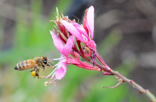 A pollen-packin' honey bee heads toward a gaura (Gaura linheimeri). (Photo by Kathy Keatley Garvey)