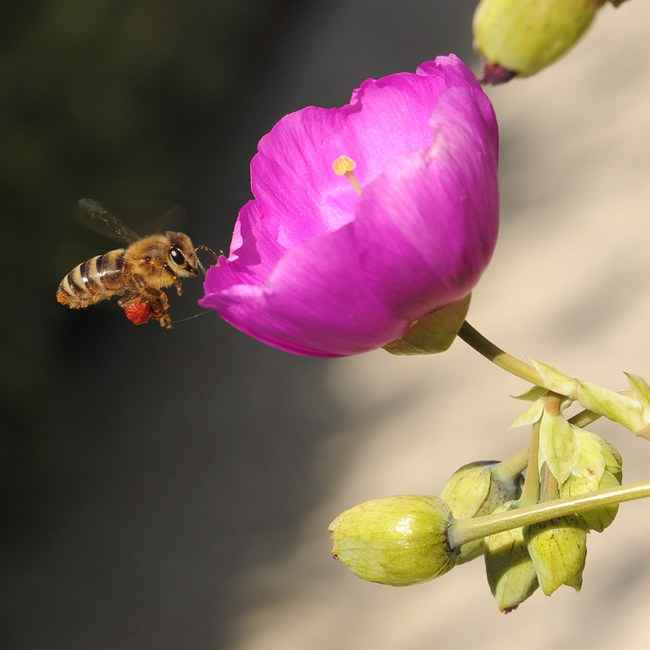 Pollen-packing honey bee heading toward a rock purslane. (Photo by Kathy Keatley Garvey)
