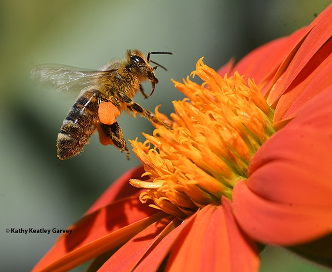 A honey bee foraging on a Mexican sunflower (Tithonia) has almost reaching its loading limit. (Photo by Kathy Keatley Garvey)