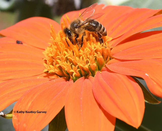 A honey bee nectaring on a Mexican sunflower, Tithonia. (Photo by Kathy Keatley Garvey)