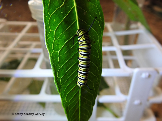 This third instar caterpillar rests on a leaf in its new environment. It was just removed from a lidded container--lidded to keep the milkweed leaf damp. Otherwise, it will dry out. (Photo by Kathy Keatley Garvey)