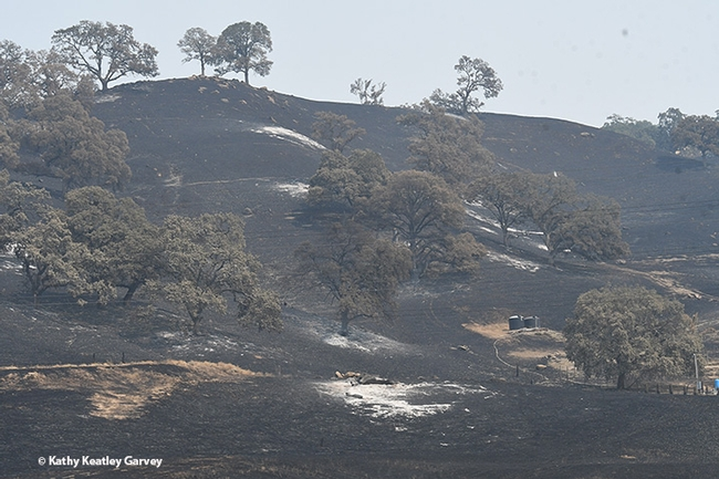 The Vacaville Fire roared down these hills onto the Pleasants Valley Road area where Clay Ford kept his bees. This photo was taken Monday afternoon, Aug. 24, re a road-access permit issued by Lt. Jon Mazer of the Solano County Sheriff's Department. (Photo by Kathy Keatley Garvey)