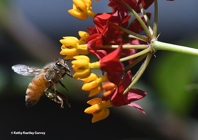 A honey bee makes a beeline for the tropical milkweed,Asclepias curassavica. (Photo by Kathy Keatley Garvey)