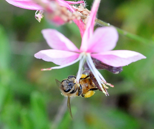 The honey bee gathers pollen from a gaura. (Photo by Kathy Keatley Garvey)