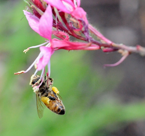 The honey bee dangles from a gaura. And, no net below! (Photo by Kathy Keatley Garvey)