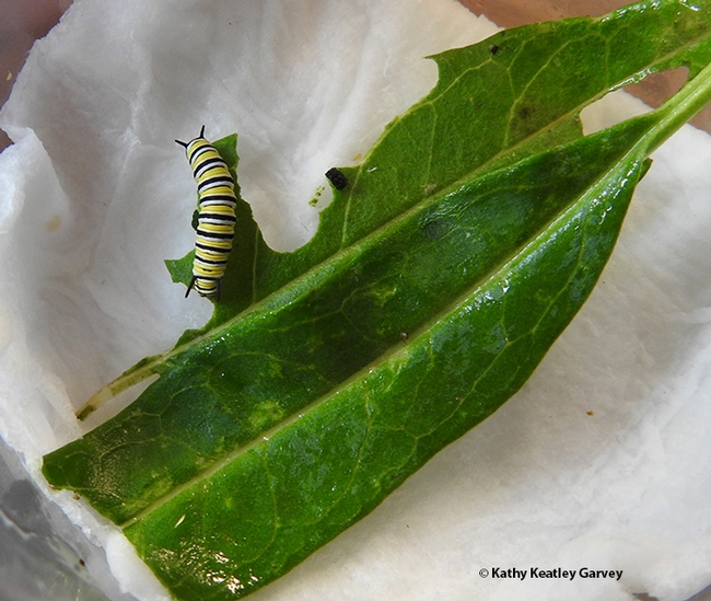 The monarch caterpillar munches milkweed; it will go through  five instars. (Photo by Kathy Keatley Garvey)