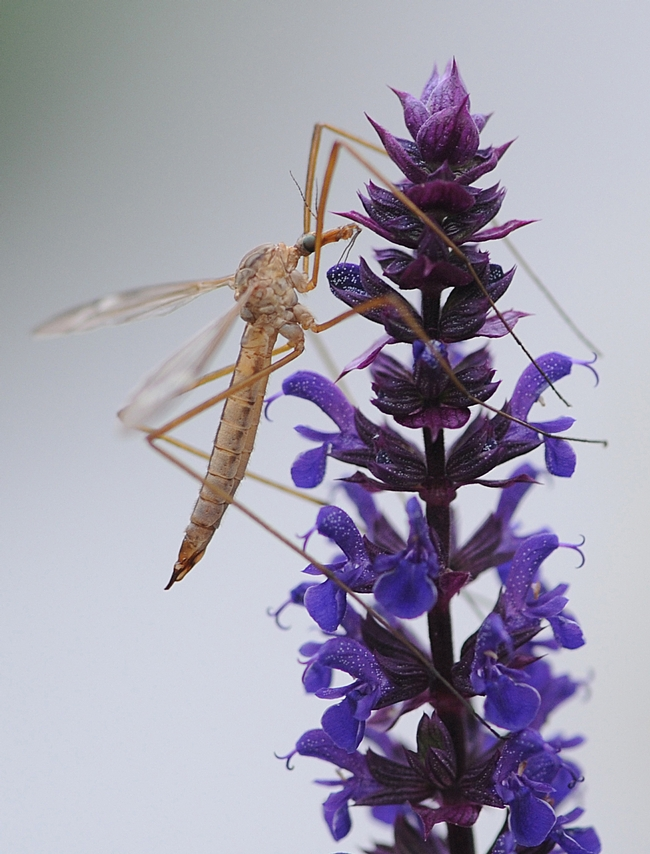Crane fly resting on salvia. (Photo by Kathy Keatley Garvey)