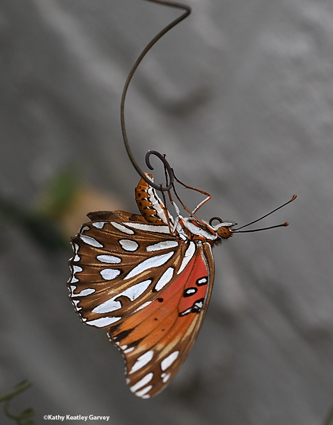 A Gulf Fritillary, Agraulis vanillae, laying an egg on Labor Day weekend in Vacaville, Calif. (Photo by Kathy Keatley Garvey)