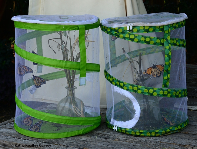 These newly eclosed monarchs are raring to leave their butterfly habitats. (Photo by Kathy Keatley Garvey)