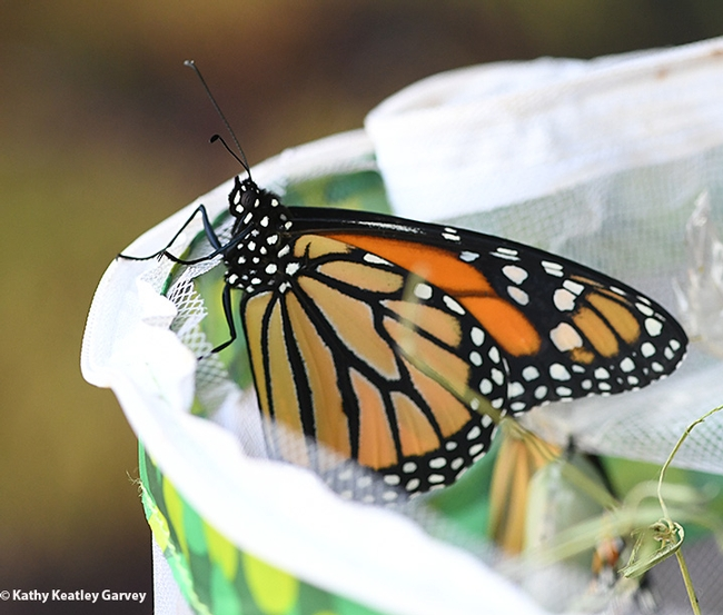 A monarch decides to perch for while and flutter away later. (Photo by Kathy Keatley Garvey)