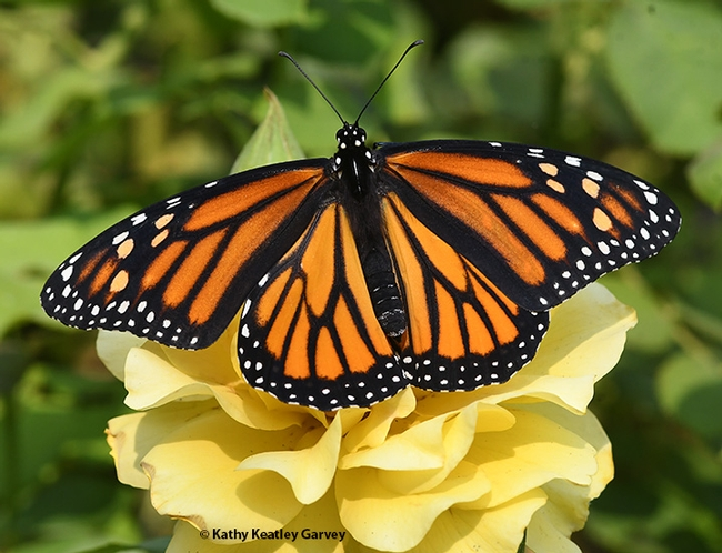 One monarch lands on a yellow rose, the UC Davis