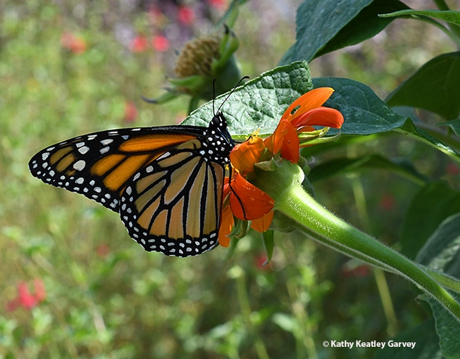 One monarch lands on a Mexican sunflower (Tithonia). (Photo by Kathy Keatley Garvey)
