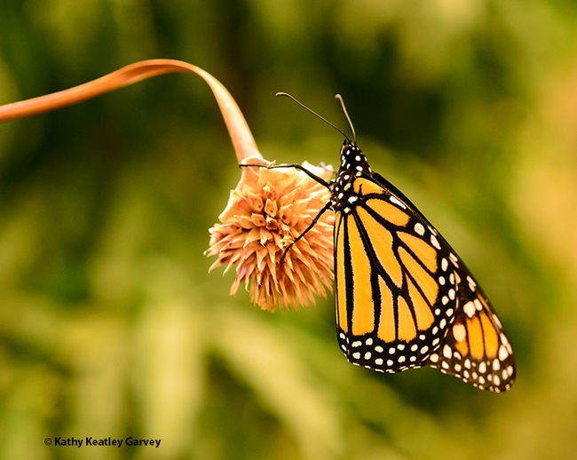 One monarch perches on a seed ball of a Mexican sunflower (Tithonia rotundifola). (Photo by Kathy Keatley Garvey)
