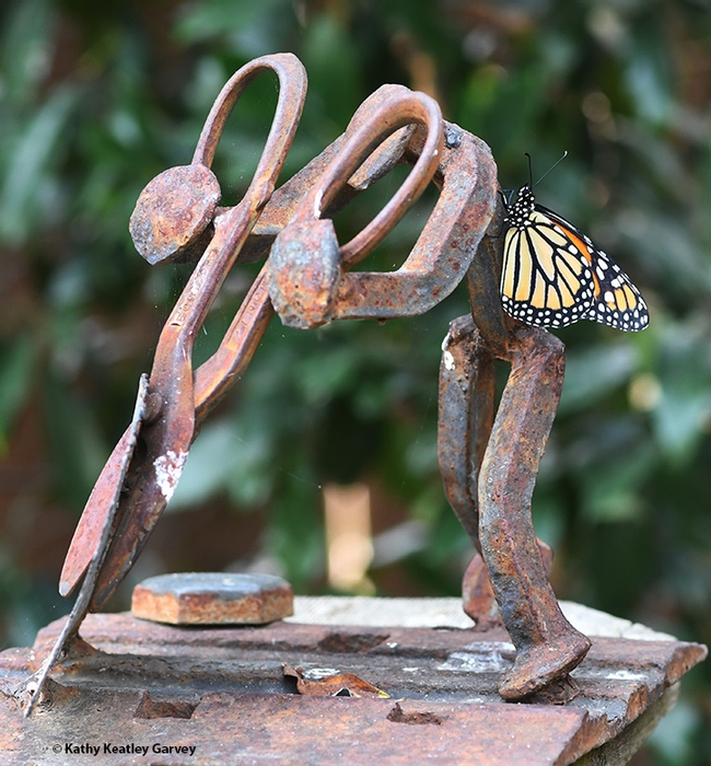 One monarch hugs a Ray Carrington garden sculpture made from railroad ties. (Photo by Kathy Keatley Garvey)