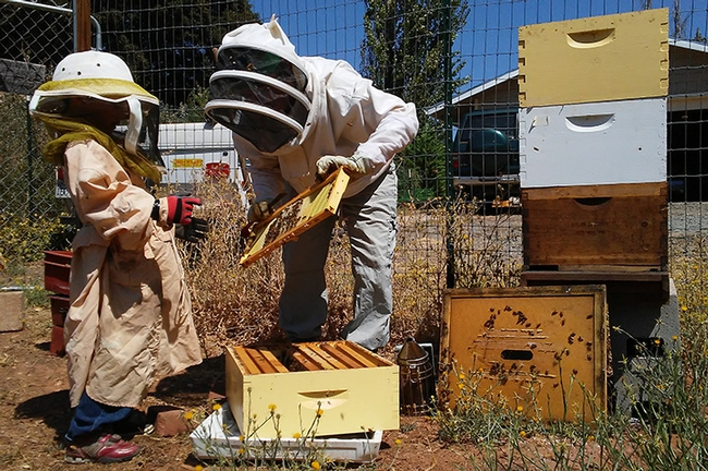 Master Beekeeper Amy Hustead of Grass Valley, Nevada County, and a helping tending her hives.