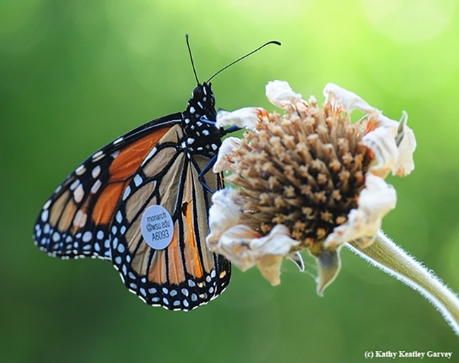 This migrating monarch flew from a vineyard in Ashland, Ore. to a garden in Vacaville, Calif. in 2016. This amounted to  285 miles in seven days or about 40.7 miles per day, according to WSU entomologist David James, who studies migratory monarchs.(Photo by Kathy Keatley Garvey)