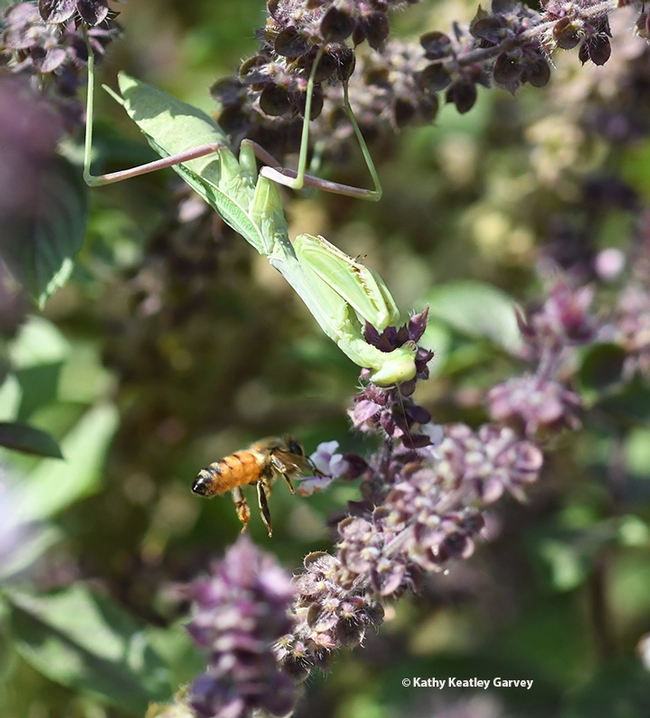 The honey bee, intent on gathering nectar, doesn't notice a praying mantis in her flight zone. (Photo by Kathy Keatley Garvey)