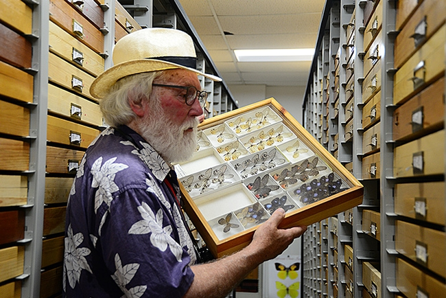 The Bohart Museum of Entomology houses nearly eight million insect specimens. Here lepidopterist Robert Michael Pyle holds one drawer and looks for others. (Photo by Kathy Keatley Garvey)