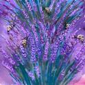 Artist Lisa Rico painted this photo of lavender and bees for the Vacaville Fire Art Project she founded. It's titled