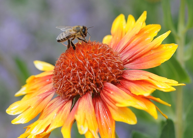 Honey bee nectaring on Gaillardia at Haagen-Dazs Honey Bee Haven, UC Davis. (Photo by Kathy Keatley Garvey)