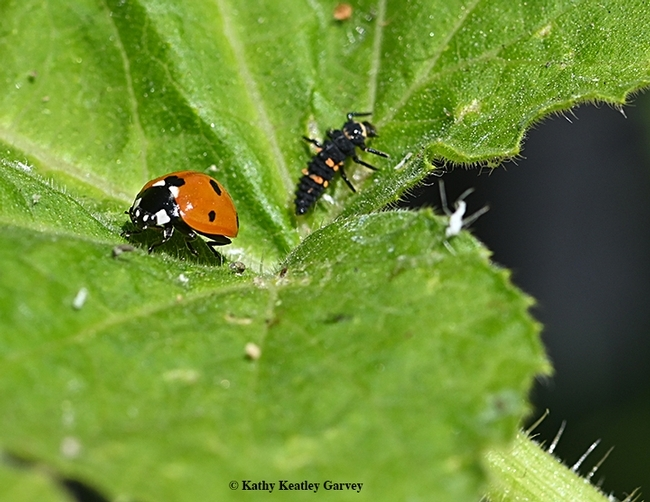 A lady beetle and larva. (Photo by Kathy Keatley Garvey)