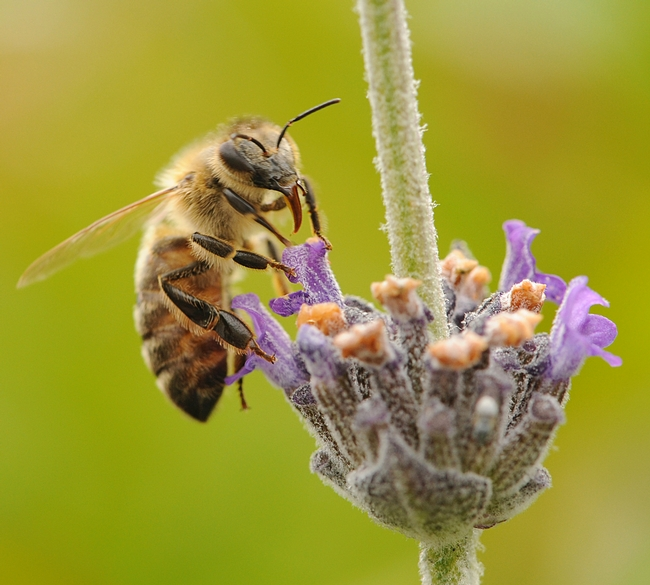 Honey bee nectaring on lavender. A UCSF team just discovered four new honey bee viruses. (Photo by Kathy Keatley Garvey)