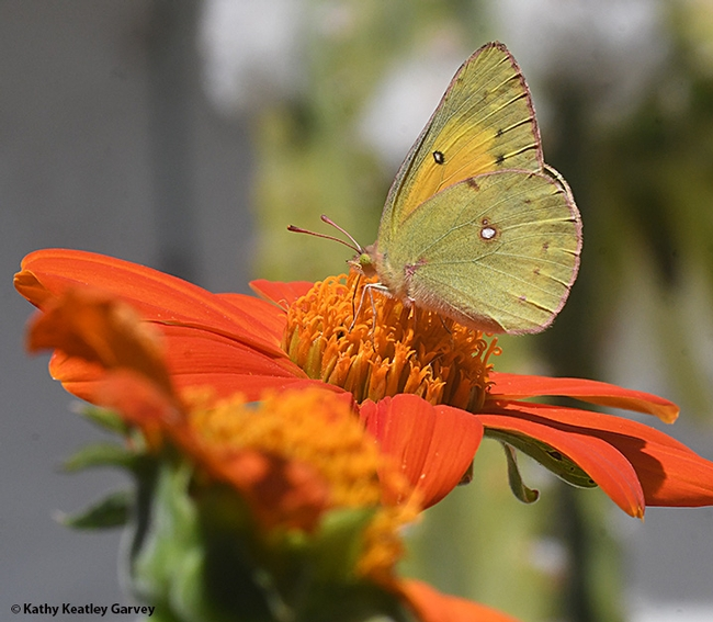 An alfalfa butterfly, Colias eurytheme, nectaring on a Mexican sunflower (Tithonia rotundifolia). (Photo by Kathy Keatley Garvey)