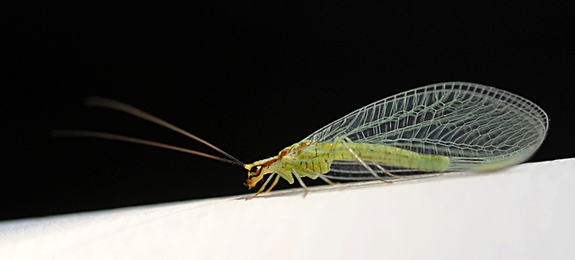 Copper eyes of a green lacewing glow in the late afternoon sun. (Photo by Kathy Keatley Garvey)
