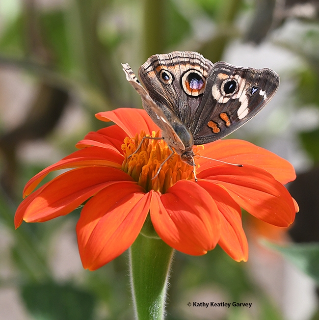 A Buckeye butterfly can't get enough of the nectar of the Mexican sunflower, Tithonia rotundifolia. (Photo by Kathy Keatley Garvey)