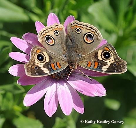 An intact Buckeye butterfly. (Photo by Kathy Keatley Garvey)