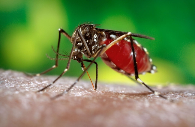 Aedes aegypti transmits dengue. (Photo courtesy  of James Gathany, Centers for Disease Control and Prevention).