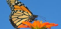 A monarch butterfly, Danaus plexippus, nectaring on a Mexican sunflower, Tithonia rotundifola. (Photo by Kathy Keatley Garvey) for Bug Squad Blog