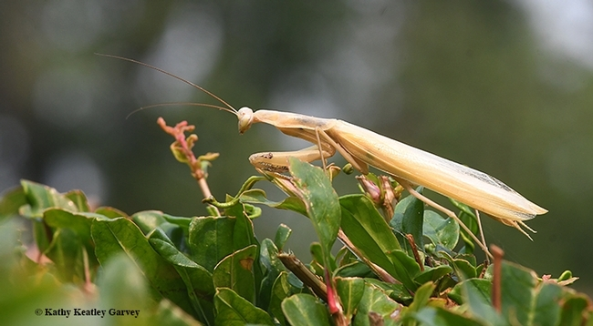 A praying mantis, Mantis religiosa, looking for prey. (Photo by Kathy Keatley Garvey)
