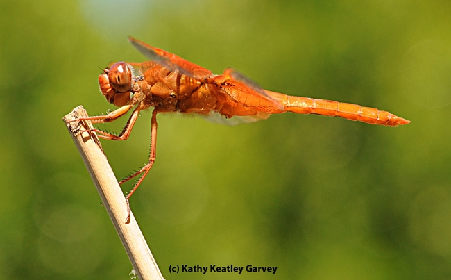 A flameskimmer dragonfly, Libellula saturata, perches on a stake. (Photo by Kathy Keatley Garvey)