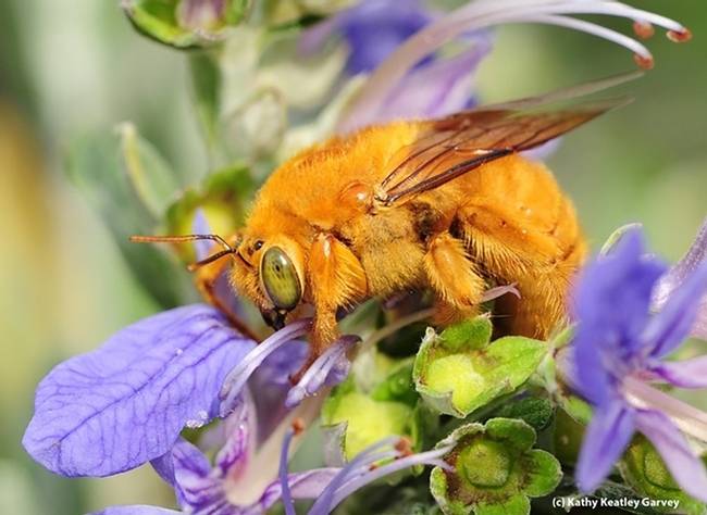 This is the male Valley carpenter bee, Xylocopa sonorina (formerly known as Xylocopa varipuncta). (Photo by Kathy Keatley Garvey)