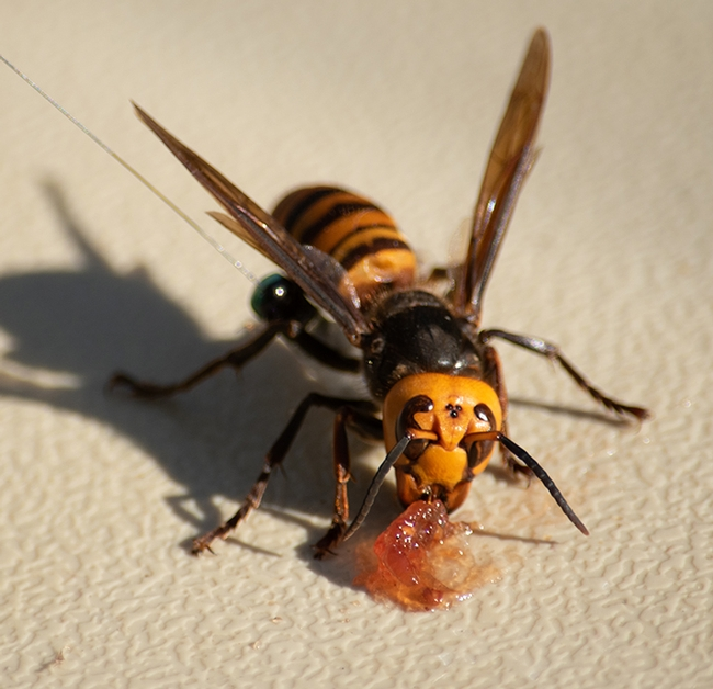 Close-up of the Asian giant hornet, Vespa mandarinia.  (Photo courtesy of Washington Department of Agriculture)