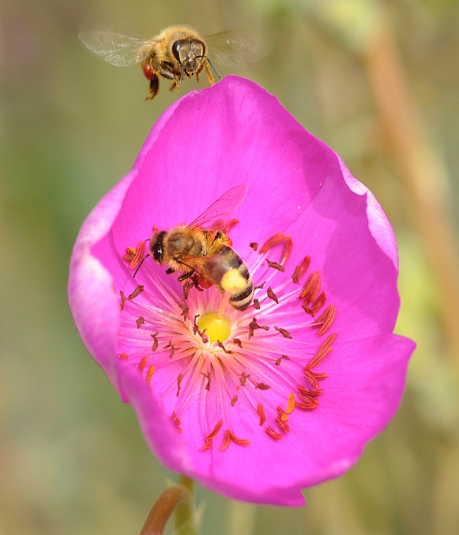 Pollen-packing honey bee heads toward a rock purslane blossom already occupied by another worker. (Photo by Kathy Keatley Garvey)
