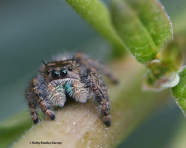 A jumping spider, member of the Salticidae family, perches on a tropical milkweed plant and eyes the photographer. Friend or foe? (Photo by Kathy Keatley Garvey)