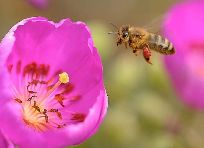 Honey bee, packing a gigantic load of red pollen, heads for another rock purslane blossom. (Photo by Kathy Keatley Garvey)