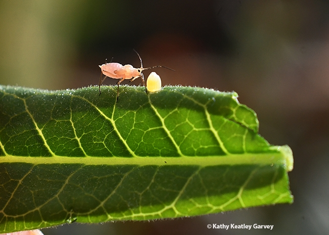 Curious oleander aphid checks out the monarch egg. (Photo by Kathy Keatley Garvey)