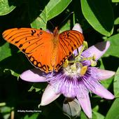 The Gulf Fritillary, Agaulis vanillae, spreads its wings on a passion flower in Vacaville, Calif. (Photo by Kathy Keatley Garvey)