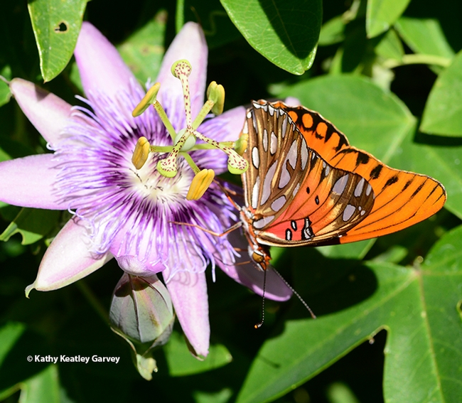 The Gulf Fritillary making the rounds of the passionflower. (Photo by Kathy Keatley Garvey)