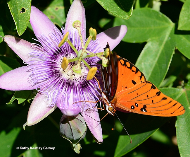 The Gulf Fritillary moves around one more time. (Photo by Kathy Keatley Garvey)