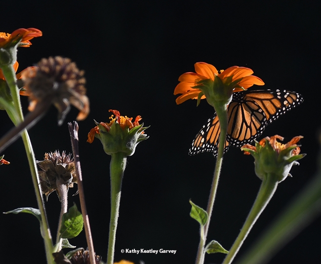 A monarch butterfly sipping nectar from a Mexican sunflower, Tithonia rotundifola, in Vacaville, Calif., on Oct. 30. (Photo by Kathy Keatley Garvey)