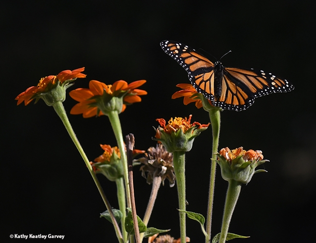 A monarch butterfly spreads its wings on a Mexican sunflower, Tithonia rotundifola, in Vacaville, Calif., on Oct. 30. (Photo by Kathy Keatley Garvey)