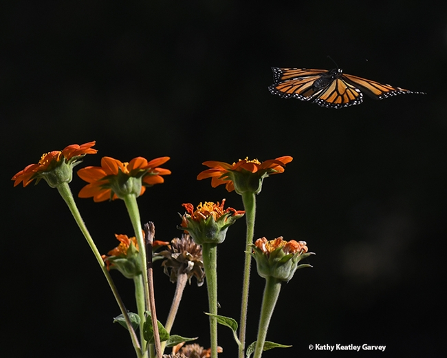 As striking as a stain glass window, the monarch takes flight. (Photo by Kathy Keatley Garvey)