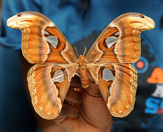 This is not the Mothman, but an Atlas moth, Attacus atlas, from the UC Davis Bohart Museum of Entomology collection. (Photo by Kathy Keatley Garvey)