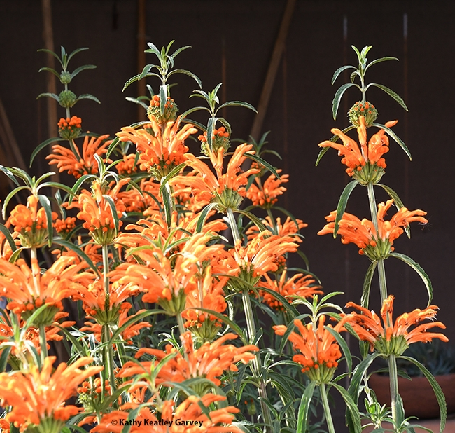 The lion's tail, Leonotis leonurus, is a native of South Africa and attracts birds, butterflies and hummingbirds. (Photo by Kathy Keatley Garvey)