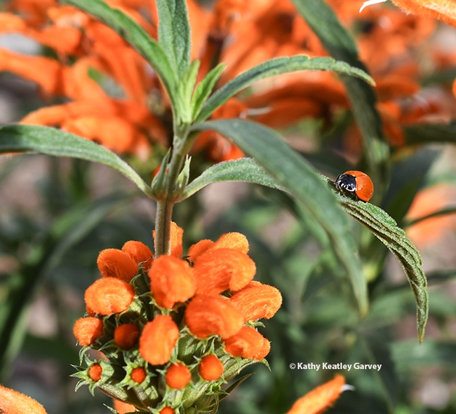 A lady beetle, aka ladybug, looks for aphids and other small bodied insects on the lion's tail. (Photo by Kathy Keatley Garvey)